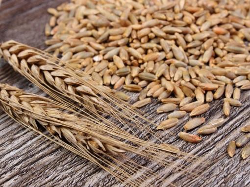 Ngũ cốc nguyên hạt lúa mạch đen – Nguồn ảnh Internet